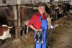 O fazendeiro está trabalhando com vacas de leiteria Fotos de Stock