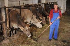 O fazendeiro está trabalhando com vacas de leiteria fotografia de stock