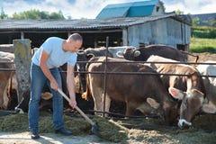 O fazendeiro está trabalhando na exploração agrícola com vacas de leiteria Fotografia de Stock