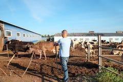 O fazendeiro está trabalhando na exploração agrícola com vacas de leiteria Foto de Stock Royalty Free