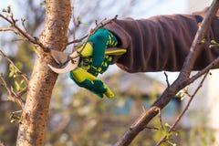 O fazendeiro fêmea com tesoura de podar manual corta as pontas da árvore de ameixa fotos de stock royalty free