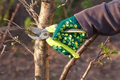 O fazendeiro fêmea com tesoura de podar manual corta as pontas da árvore de ameixa foto de stock royalty free