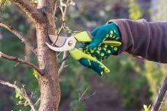 O fazendeiro fêmea com tesoura de podar manual corta as pontas da árvore de ameixa foto de stock