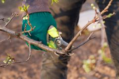 O fazendeiro fêmea com tesoura de podar manual corta as pontas da árvore de ameixa fotografia de stock royalty free