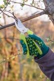 O fazendeiro fêmea com tesoura de podar manual corta as pontas da árvore de maçã foto de stock
