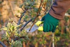 O fazendeiro fêmea com tesoura de podar manual corta as pontas da árvore de pera fotografia de stock royalty free