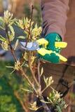 O fazendeiro fêmea com tesoura de podar manual corta as pontas da árvore de pera fotos de stock