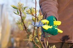 O fazendeiro fêmea com tesoura de podar manual corta as pontas da árvore de pera foto de stock