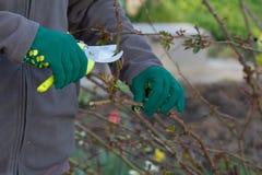 O fazendeiro fêmea com tesoura de podar manual corta as pontas do arbusto cor-de-rosa fotografia de stock royalty free