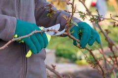 O fazendeiro fêmea com tesoura de podar manual corta as pontas do arbusto cor-de-rosa imagem de stock