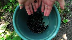 O fazendeiro fêmea novo enche a cubeta com as bagas suculentas frescas do corinto preto video estoque