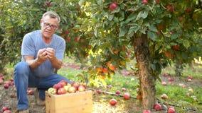 O fazendeiro feliz recolhe uma colheita generosa do outono das maçãs Pomar de Apple grande, maçãs vermelhas, agricultura video estoque