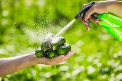 O fazendeiro guarda pepinos orgânicos frescos em suas mãos Guardando pepinos verdes nas mãos e lavagem com um pulverizador Fotografia de Stock