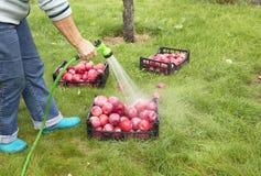 O fazendeiro lava a colheita de maçãs maduras vermelhas de um pulverizador fotos de stock