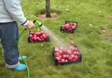 O fazendeiro lava a colheita de maçãs maduras vermelhas de um pulverizador imagens de stock