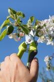 O fazendeiro masculino com tesoura de podar manual corta as pontas da árvore de maçã fotos de stock royalty free