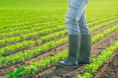 O fazendeiro masculino irreconhecível que está em plantas de feijão de soja enfileira Imagens de Stock