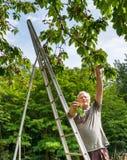 O fazendeiro na escada recolhe a cereja Fotografia de Stock Royalty Free