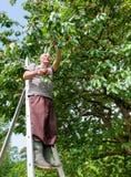O fazendeiro na escada recolhe a cereja Foto de Stock