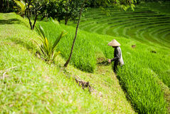 O fazendeiro no arroz coloca, terraços bonitos do arroz em Bali Imagens de Stock Royalty Free