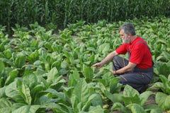 O fazendeiro ou o agrônomo inspecionam o campo de cigarro foto de stock