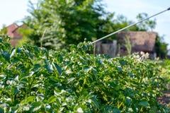 O fazendeiro polvilha as batatas com o pulverizador, fileiras da florescência da batata Imagens de Stock