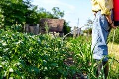 O fazendeiro polvilha as batatas com o pulverizador, fileiras da florescência da batata Imagem de Stock