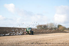 O fazendeiro que ara o campo de restolho com trator verde seguiu por um rebanho das gaivotas, Dinamarca Foto de Stock