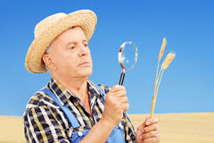 O fazendeiro que examina o seu colheu o trigo em um campo Fotografia de Stock