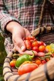 O fazendeiro que guarda vegetais escolhidos frescos, produz à disposição Fotografia de Stock