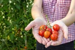 O fazendeiro recolhe tomates de cereja na estufa imagem de stock