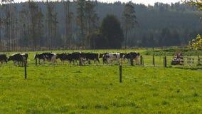 O fazendeiro traz nas vacas dentro ordenhando vídeos de arquivo