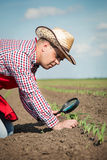 O fazendeiro verifica o milho Foto de Stock