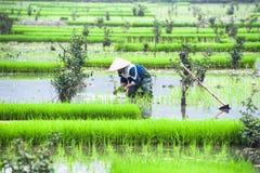 O fazendeiro vietnamiano trabalha no campo do arroz Ninh Binh, Vietnam Imagem de Stock