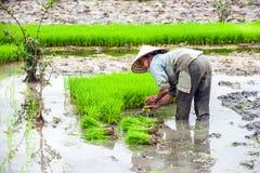 O fazendeiro vietnamiano trabalha no campo do arroz Ninh Binh, Vietnam Imagem de Stock Royalty Free