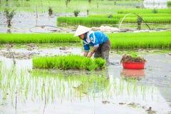 O fazendeiro vietnamiano trabalha no campo do arroz Ninh Binh, Vietnam Imagens de Stock