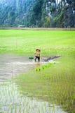 O fazendeiro vietnamiano trabalha no campo do arroz Ninh Binh, Vietnam Fotos de Stock
