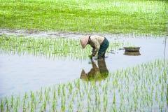 O fazendeiro vietnamiano trabalha no campo do arroz Ninh Binh, Vietnam Fotos de Stock Royalty Free