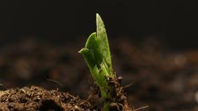O feijão de ervilha crescente na exploração agrícola semeia o timelapse da agricultura video estoque