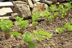 O feijão e o aipo e o tomilho novos no país jardinam Imagens de Stock