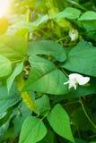 O feijão voado em um jardim vegetal imagens de stock