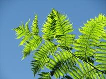 O Fern basked na luz solar Foto de Stock
