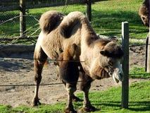 O ferus do Camelus do camelo bactriano, o DAS Trampeltier, o Zweihöckriges ou o Baktrisches selvagem Kamel, Abenteurland Walter  fotos de stock royalty free