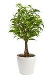 O Ficus isolou-se Imagem de Stock Royalty Free