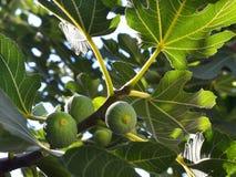O figo de amadurecimento frutifica em um ramo entre o close-up verde das folhas fotos de stock