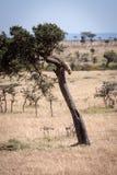 O filhote da chita prepara-se para andar abaixo da árvore fotografia de stock royalty free