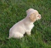 O filhote de cachorro Foto de Stock