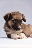O filhote de cachorro Fotografia de Stock