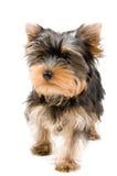 O filhote de cachorro Fotos de Stock