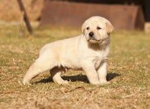 O filhote de cachorro branco de Labrador está na grama Imagem de Stock